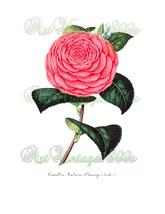 BEAUTIFUL FLOWER-001 Camellia vintage image wed... - $2.94