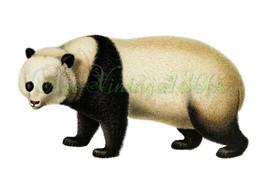 AMAZING MAMMAL-001 picture of Giant Panda vinta... - $2.94