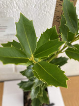 Oak leaf Holly image 2