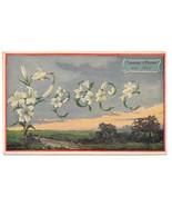 Language of Flowers Lily Peace Vintage Postcard - $4.99