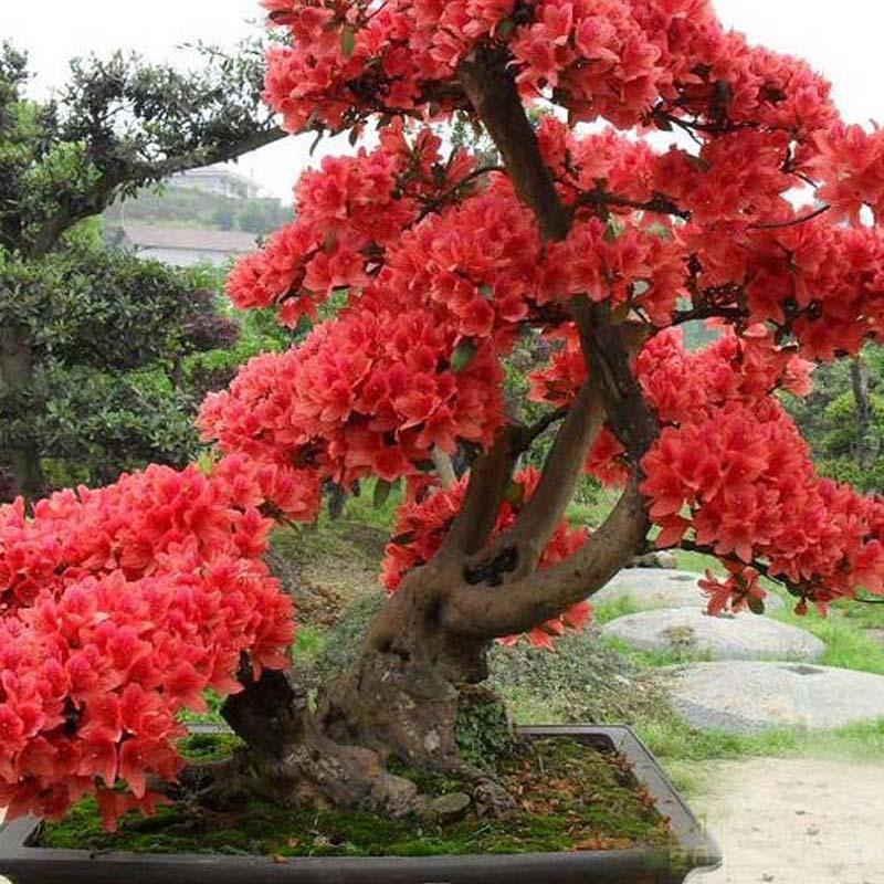 Red Japanese Cherry Blossoms Seeds Small Sakura Tree Seeds