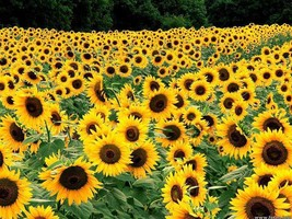 Dwarf Sunspot Sunflower Seeds Party Favors, Wedding Favors, Showers, Gif... - $49.47
