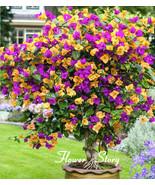 bougainvillea balcony pot yard bonsai flower plant immensely showy floriferous hardy1 thumbtall