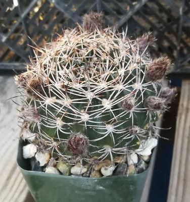 Lobivia cardenasianum Cactus 61 Great Flowers