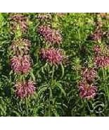 Organic Lemon Bergamot Seeds - Attract Beneficial Butterflies & Bees. - $2.95