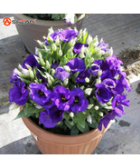 Purple Eustoma Seeds Perennial Flowering Plants Lisianthus Multicolor - 100 PCS - $5.99