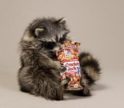 Cracker Jacks Raccoon Taxidermy Animal Statue Home or Office Gift - $499.99