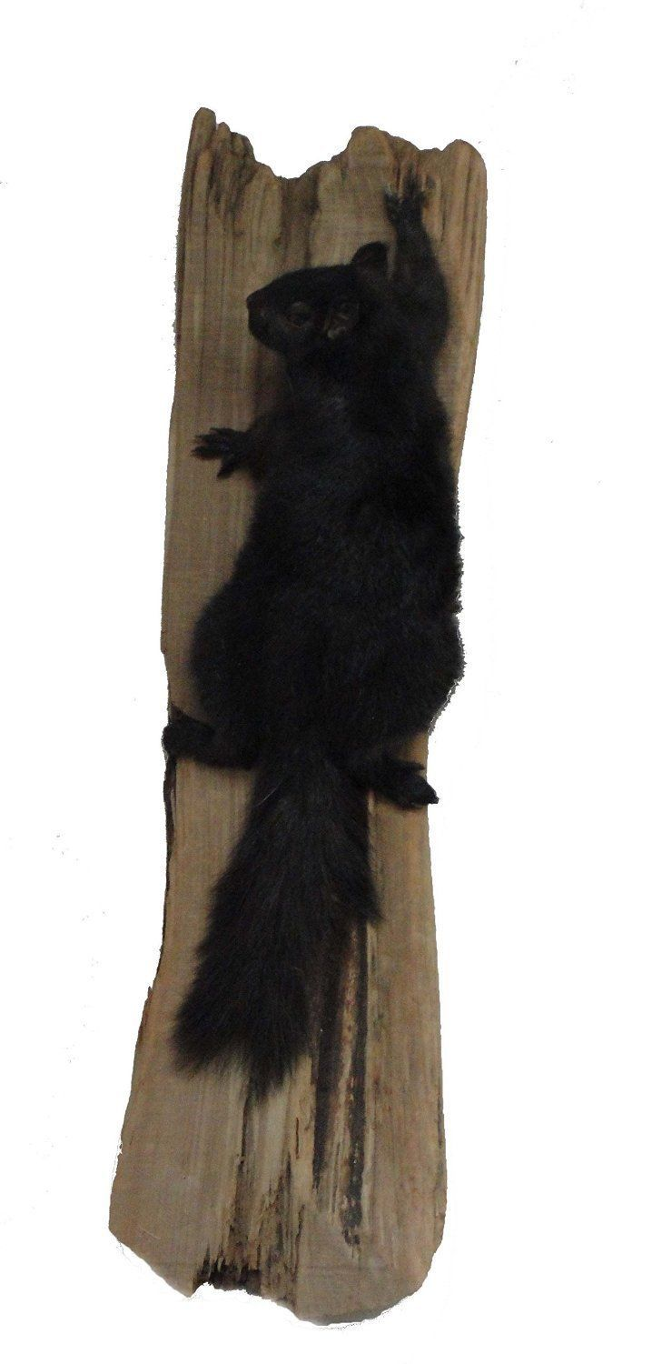 Black Squirrel on Drift Wood Taxidermy Animal Statue on Base Home or Office Gift - $219.99