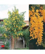 24-36 Inches Tall - Golden Chain Tree Laburnum anagyroides Live Potted Tree - $44.54