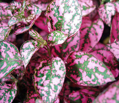 """50+ ANNUAL FLOWER SEEDS - POLKA DOT PLANT - """"PINK"""" COLORFUL FOLIAGE PLANT!! - $5.29"""