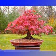 20 Seed Office Decor Japanese Red Maple Hybrid Bonsai, DIY Beautiful Tre... - $8.99