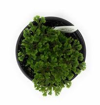 "Emmeliana Spikemoss Selaginella sp. Emmeliana 4"" Pot - living room  - £30.35 GBP"