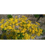 Organic Golden Ragwort, Senecio aureus, butterflies, good ground cover - $3.50