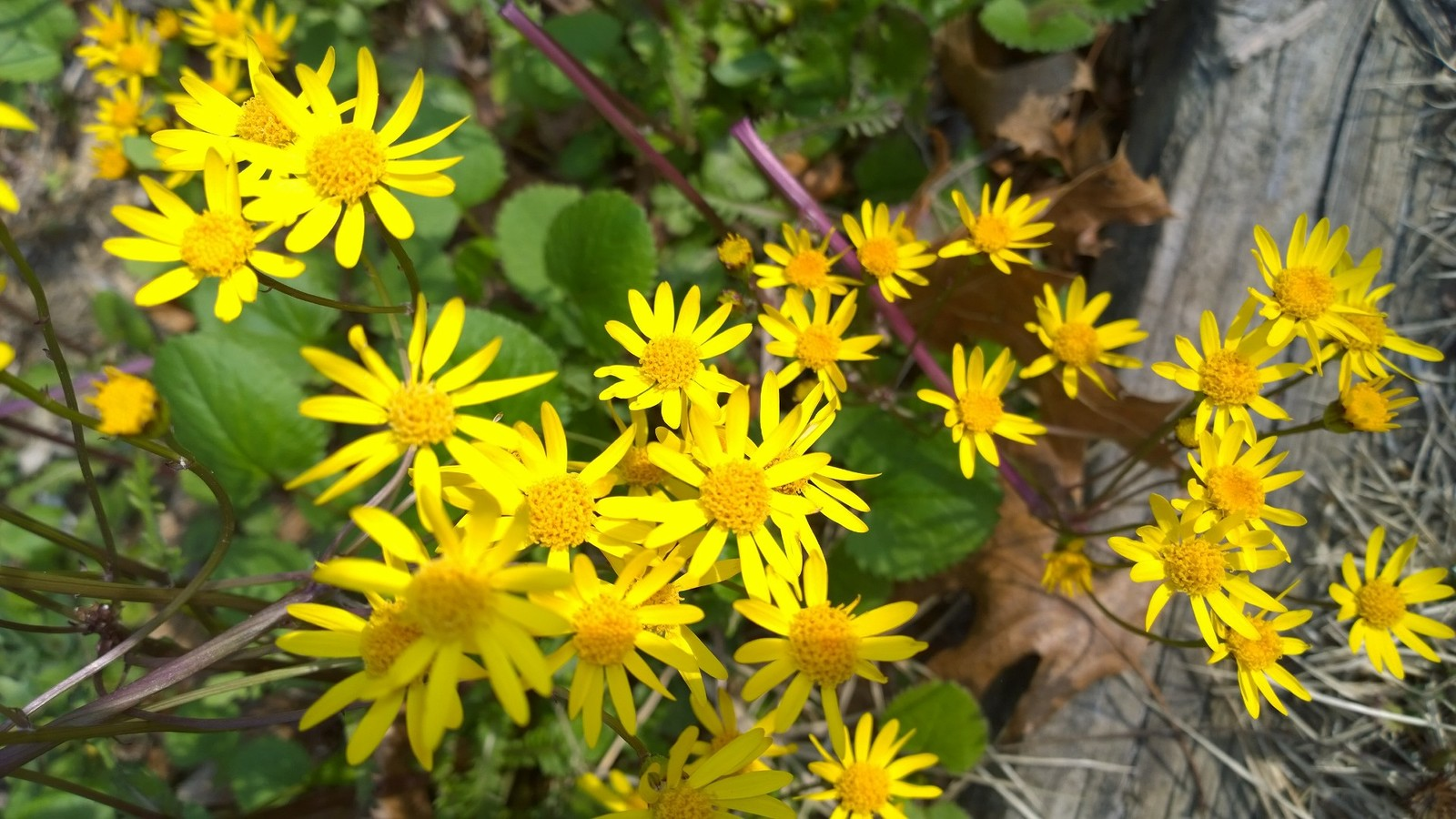 Organic Golden Ragwort, Senecio aureus, butterflies, good ground cover