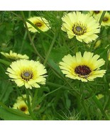 USA umbrella milkwort 100-1600 seeds heirloom (butterfly garden) - $6.85+