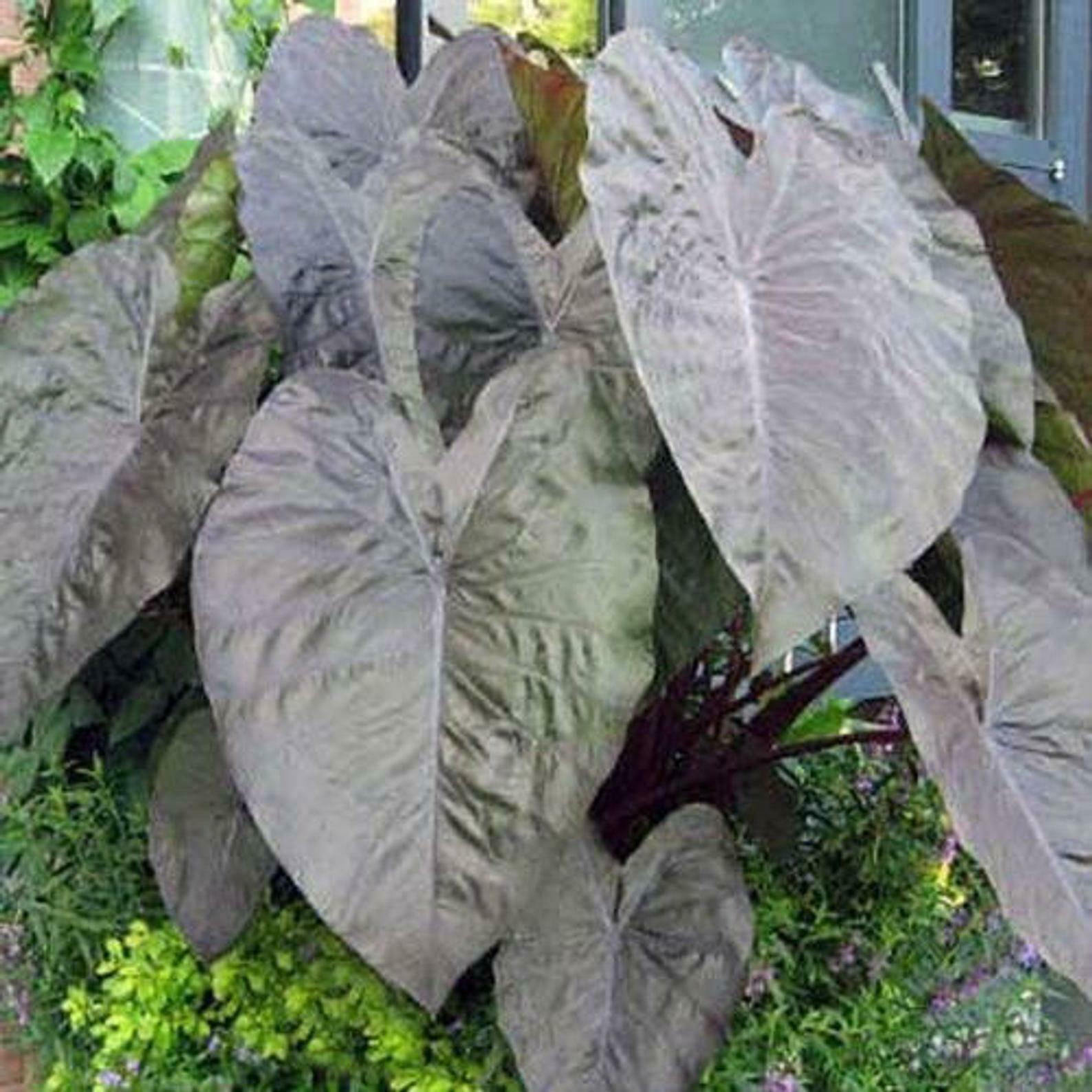 Primary image for SHIP FROM US Diamond Head Elephant Ear Colocasia Live Plant tropical garden WSP2