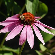 Fresh Seeds Very Beautiful Purple Coneflower Echinacea 10 Variety #IMA33 - $13.99+