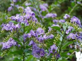 Outdoor Living - Duranta Erecta Periwinkle Blue Shrub Pint Plant - tgi - $43.95