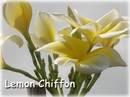 Lemon Chiffon Hawaiian Lei Tree Plumeria Frangipani cutting Rare Exotic - $8.95