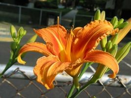 WILD DAYLILY 25 fans/root systems image 3