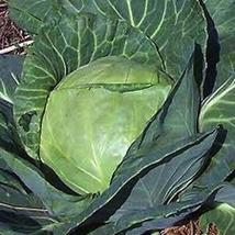 50 seeds Golden Acre Cabbage Non GMO Heirloom New seed - $10.00