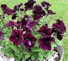 45 Pelleted Sophistica Blackberry Petunia Seeds - Outdoor Living - Garden Seeds - $55.99