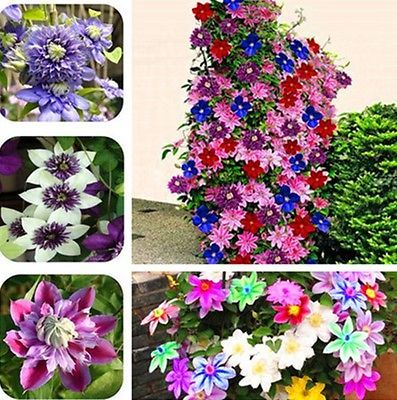 Image of 300 Bonsai Clematis Bulbs Wire Lotus Plant Seeds Multicolor Clematis
