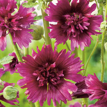15 Purple Spring Celebrities Hollyhock Seeds - $7.20