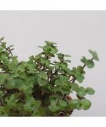 Bolivian Jew aka Callisia repens Foliage Live Plant Fit 4'' Pot - $7.91