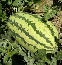 SHIP FROM US 0.5 Ounce Seeds Jubilee Watermelon,DIY Fruit Seeds RM - $15.78