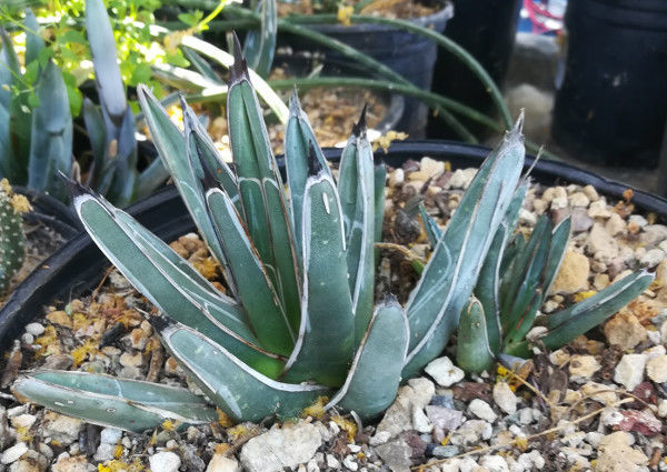 Agave ferdinand regis King of Agaves Tricuspid Terminal Spine 91