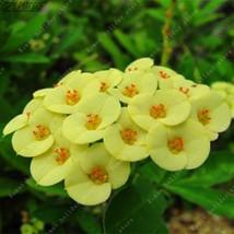 Rare Yellow Euphorbia Milii Seeds Plants Flower Home Garden - $4.76+