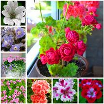 50pcs Very Elegant 24 Color Dwarf Geranium Seed Bonsai Fresh Flower Seed... - £24.70 GBP