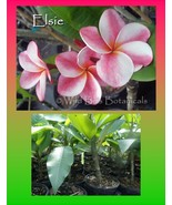 Rara fragrant Exotic ROOTED plant Elsie Plumeria Seedling Perfect Gift Idea - $12.95
