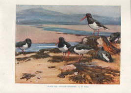 VINTAGE BIRD PRINT ~ OYSTER-CATHCHERS - $36.79