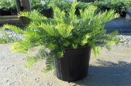 Spreading Japanese Plum Yew Trade Gallon Pot Live Plant  - $63.99
