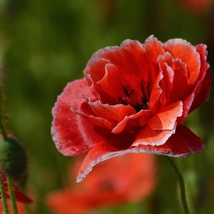 100 Seeds Corn poppy Seed Papaver Rhoeas Beautiful For Garden Flower Seed A295 - $13.58