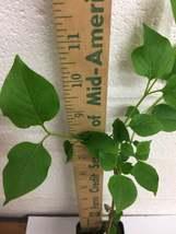 Miss Kim Lilac shrub quart pot image 6