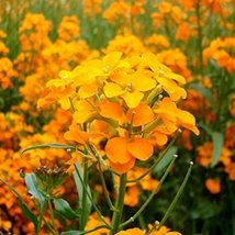 200 Siberian Wallflower Seeds Cheiranthus allionii - $6.93