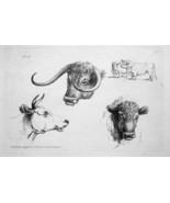1801 ORIGINAL ETCHING Print by Howitt - Heads of Bulls Cows - $20.92
