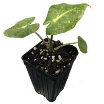 Alocasia - New Guinea Gold Elephant Ear Live Plant - Outdoor Living - Houseplant - $51.99