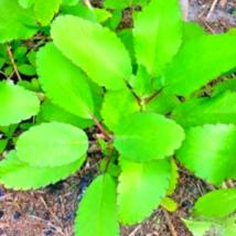 Kalanchoe Pinnata, Life Plant, Goethe, Miracle Leaf Rooted Plant  - $16.00