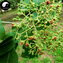 Buy Evodia Tree Seeds 100pcs Plant Evodia Daniellii Tree Chou Tan For Wu... - $5.99