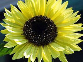 50 Pcs Sunflower Seeds, Lemon Queen, Yellow Sunflowers, Heirloom Sunflow... - $13.99