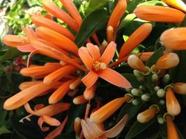 FLORIDA FLAME Flowering Vine Plant Orange Flowers Spring For Hummingbirds - $49.99