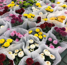 150pcs Very Elegant Bellis Seeds Flowers Seeds 6 mix colors Daisy Flowers IMA1 - $15.99