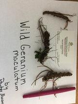 WILD GERANIUM 5 roots image 2