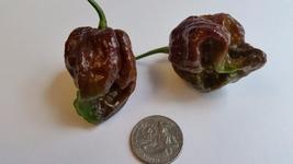 Moruga Scorpion Chocolate - Seeds - $4.00+