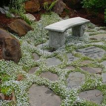 SHIP FROM US 1,600 Snow in Summer Flower Seeds (Cerastium Tomentosum), U... - $59.98
