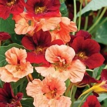 Nasturtium Glorious Gleam Mix / Re-Seeding 35 Seeds #SBS09 - $14.17